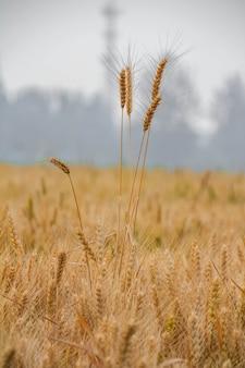 日光での大麦フィールド