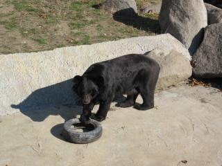 Bear playing with tire