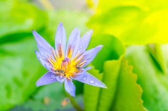 Beautiful blossom purple lotus with yellow pollen .