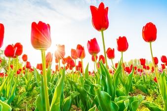 Beautiful bouquet of tulips in spring season .