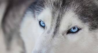 Beautiful husky with blue eyes