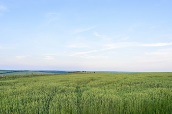 緑色の穀物が美しい景色をモールド・ソーダで夕日に
