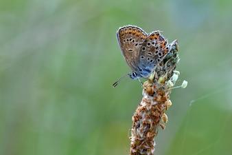 Красивая маленькая бабочка Common Blue (Polyommatus icarus). Макрос выстрел природы закрыть.