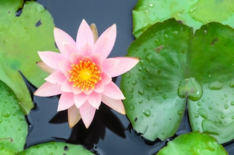 Beautiful lotus blooming in the pond