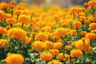 Beautiful Marigold yellow flowers in the garden