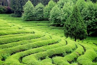 Beautiful tea plantation in south east asia