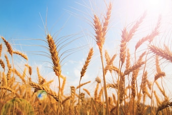Beautiful wheat rice field with sunlight and copy space