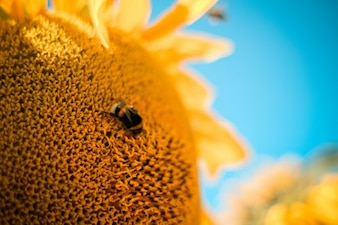 Bee and sunflower close up