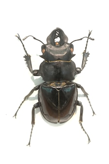 Beetle with horns together