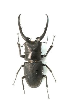 Beetle with long barbed horns
