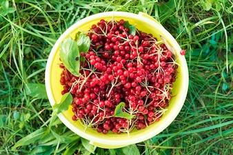 Berries of red viburnum in bucket