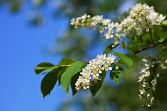 Bird Cherry branch against blue sky