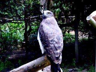 獲物の鳥 - タカ