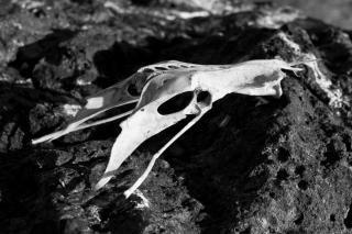 Bird Skull, bird