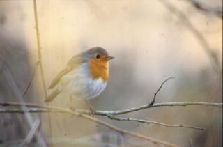 Bird with orange cheast