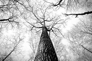 Black and white high trees
