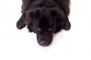 Black dog, animal