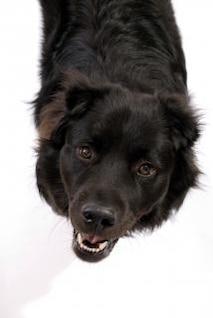 black dog  pedigree  friend