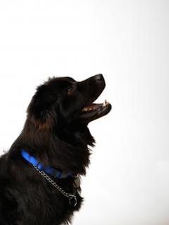 black dog  pedigree