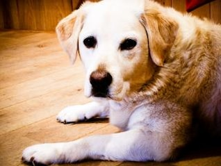 blond labrador retriever dog