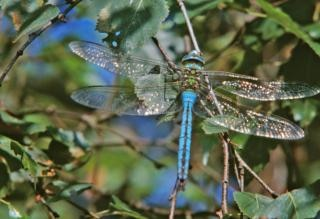 Blue dragonfly, insect, legs