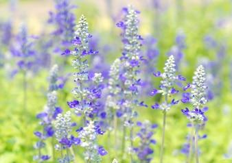 синий цветок сальвии в природе, очень мелкой фокус