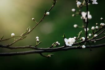 Branch of tree with white flowers
