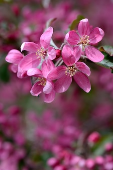 Bright pink flowers on branch