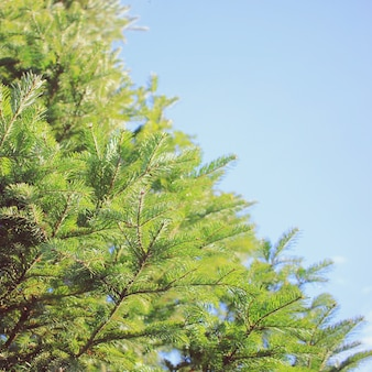 Brightly green prickly branches of a fur tree or pine with blue sky