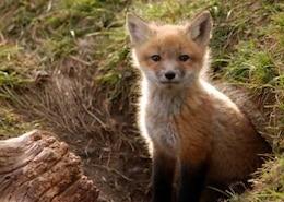 Brighton Foxes II