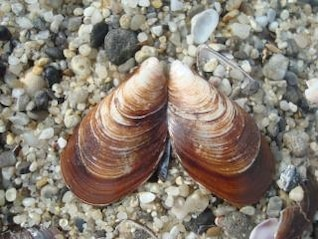 brown clam shell
