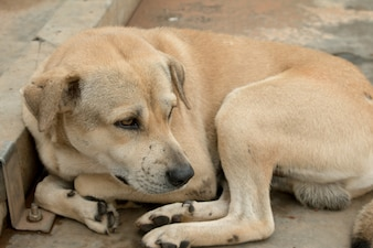 Brown dog stay on walking floor in Thailand country.