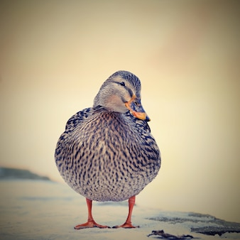 Brown duck on snow