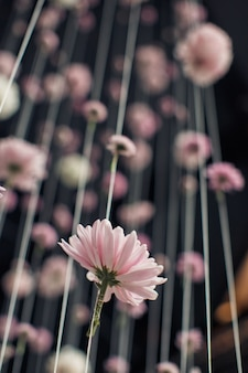 Buds of pink daisies hang on the thread
