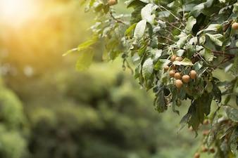 ロンガンの実、ロンガンの木の束