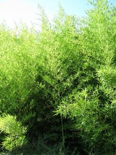 Bushtree