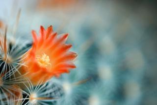 サボテンの花のマクロの背景