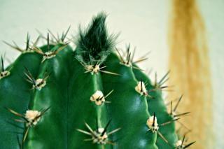 Cactus, sting