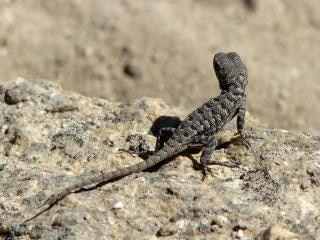 Californian Lizard