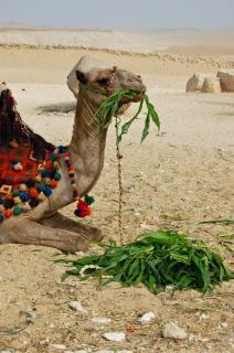 camel  eating