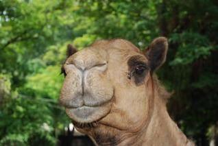 Camel at Surabaya Zoo