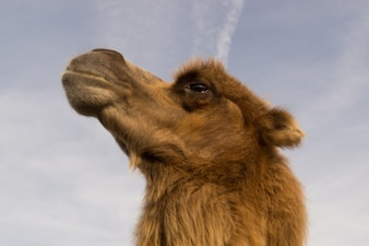 Camel looking at a cloudy sky
