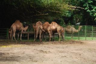 Camels in Surabaya Zoo