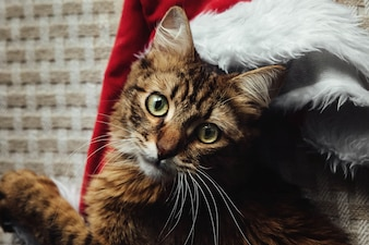 Cat with a santa hat behind