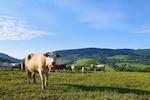 Cattle grazing in the meadow