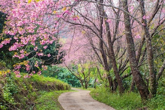 Cherry Blossom and sakura on road