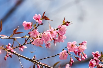 Cherry blossom in the north of thailand