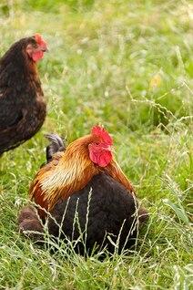 chicken bird beak agriculture animal cock