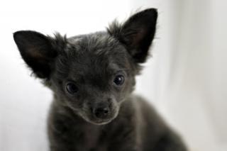 Chihuahua, small