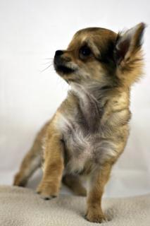 Chihuahua, bark